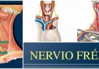nervio frenico en el cuello