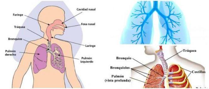 Órganos del Sistema Respiratorio: Todos Los Órganos Involucrados En ...