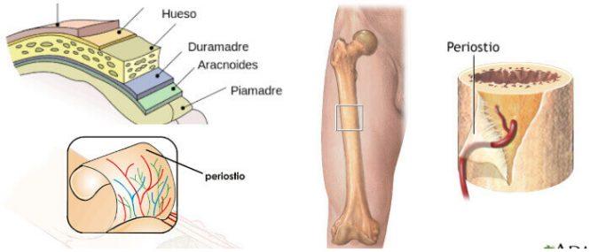 cual es la anatomía del periostio