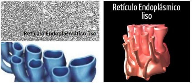 estructura del retículo endoplasmatico liso