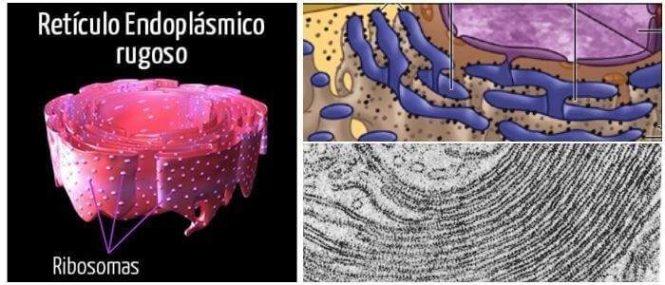 función de retículo endoplasmatico rugoso
