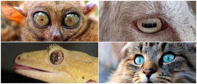 tipos de pupilas verticales