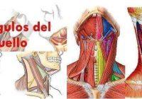 cual es la anatomía de los triangulos del cuello