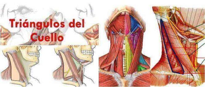 Triángulos del Cuello: ¿Qué Son? Anatomía General, Relevancia ...
