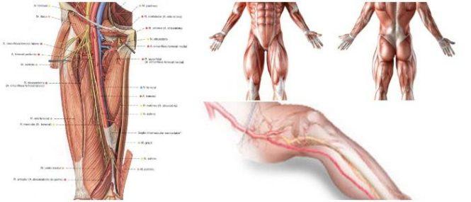 Arteria Femoral: ¿Qué es? Función, Triángulo Femoral, Ramas y ...