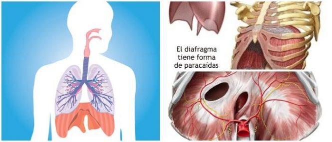 Diafragma: Definición, Anatomía, Función, Músculos, Acciones y ...