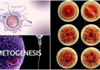 cual es el concepto de gametogenesis
