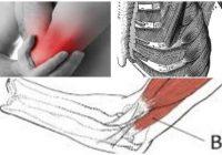 cual es la función del musculo braquial