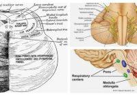 cual es la anatomía del puente de varolio