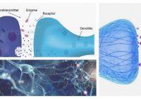 que es la sinapsis axoaxonica