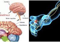 cual es la anatomía del sistema nervioso central