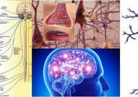 cual es la clasificación del sistema nervioso humano