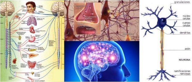 Clasificación Del Sistema Nervioso Definición Funciones Y