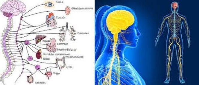 cual es la estructura del sistema nervioso periférico