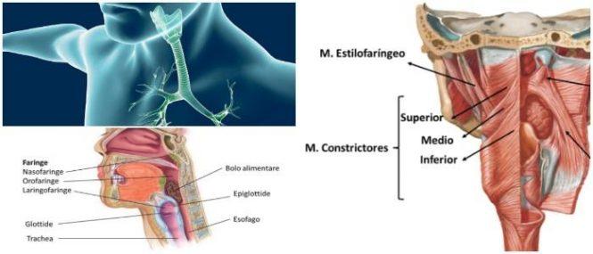 Faringe: ¿Qué es? Estructura, Inervación, Anatomía Microscópica ...