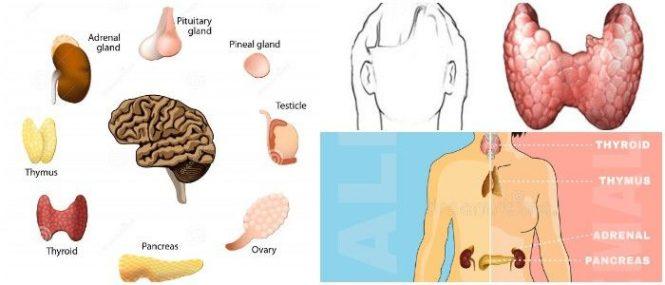 Principales glandulas endocrinas del ser humano y sus funciones