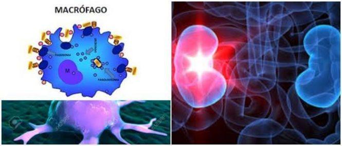 relacion entre un macrofago y un globulo blanco