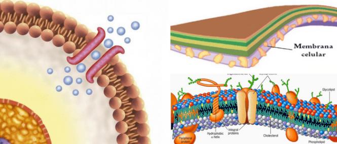 Membrana Plasmática Qué Es Composición Función Modelos