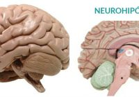 cual es el estudio del neurohipófisis en el hombre
