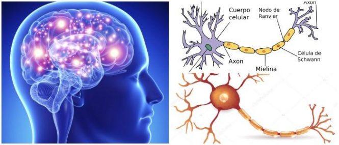 Neurona: Definición, Anatomía, Clasificación, Fisiología, Funciones ...