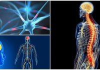 cuales son los órganos del sistema nervioso y función de cada uno
