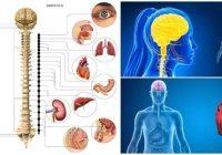 cuales son las características del sistema nervioso parasimpático