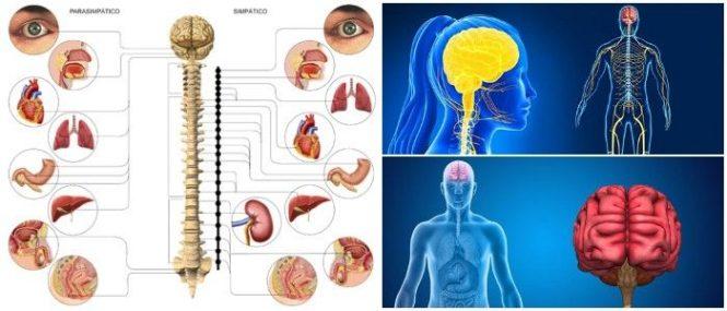 Sistema Nervioso Parasimpático Qué Es Funciones Y Respuestas Simpáticas Vs Parasimpáticas Arriba Salud