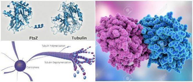 tubulina alfa y beta