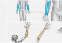 función de la articulación del hueso cubito