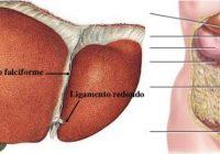 que es el ligamento falciforme del higado