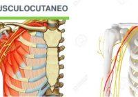 nervio musculocutaneo en el brazo