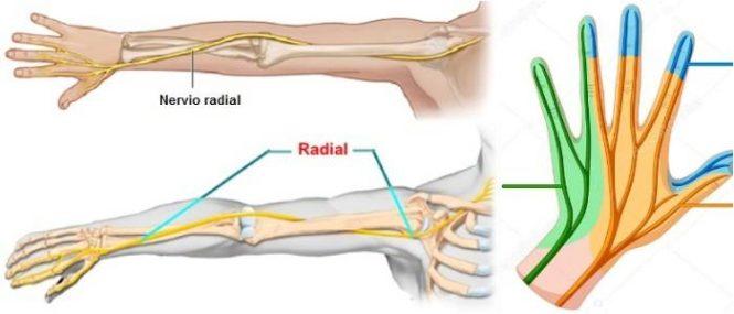 Nervio Radial: ¿Qué es? Anatomía, Estructura, Funciones ...