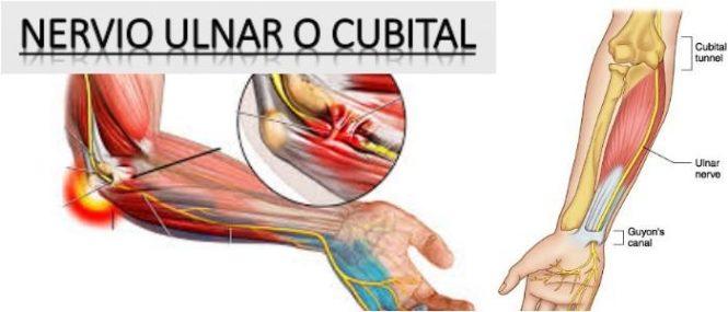 nervio ulnar del brazo