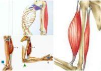 cual es la función de los músculos sinergistas