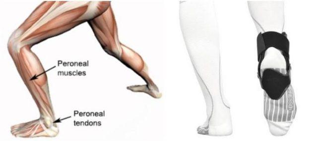 Peroneo: Definición, Anatomía, Funciones, Orígenes, Innervación y ...