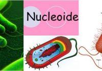 cual es la función del nucleoide