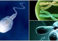 celula haploide